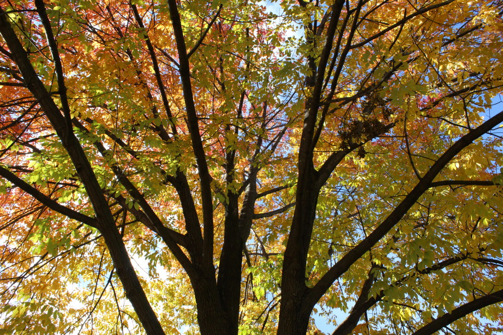 Fall trees near Hartford Avenue